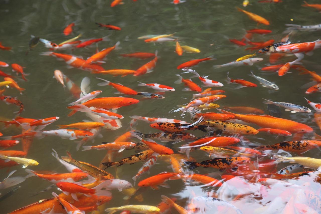Koi Flakes & Koi Fish Feeding Supplies