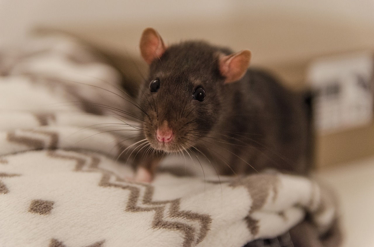 Using A Rodent Cleanup Service Seattle
