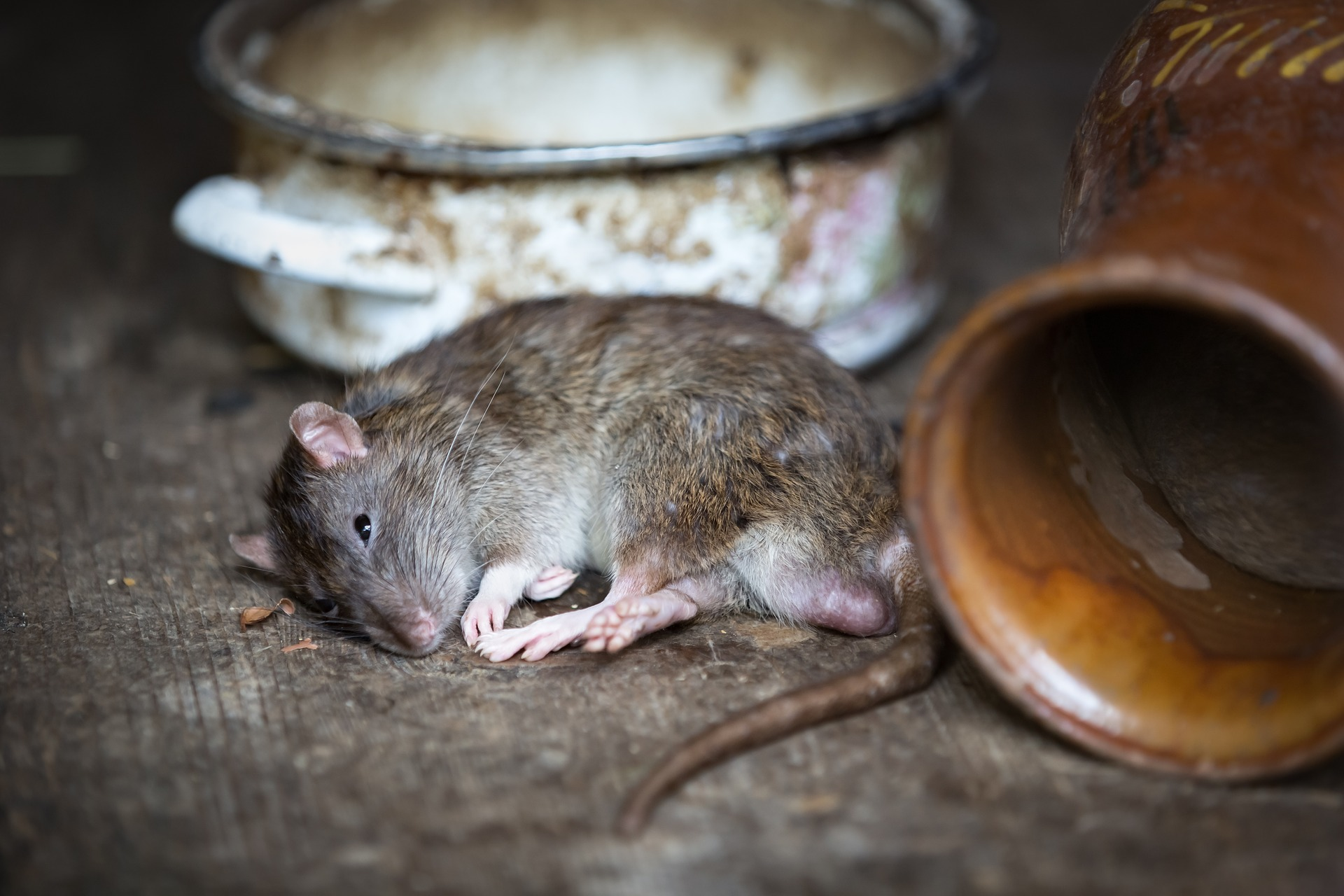 3 Tricks To Get Rid Of Rats In The House